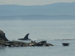 T-19B Hunting Harbor Seals
