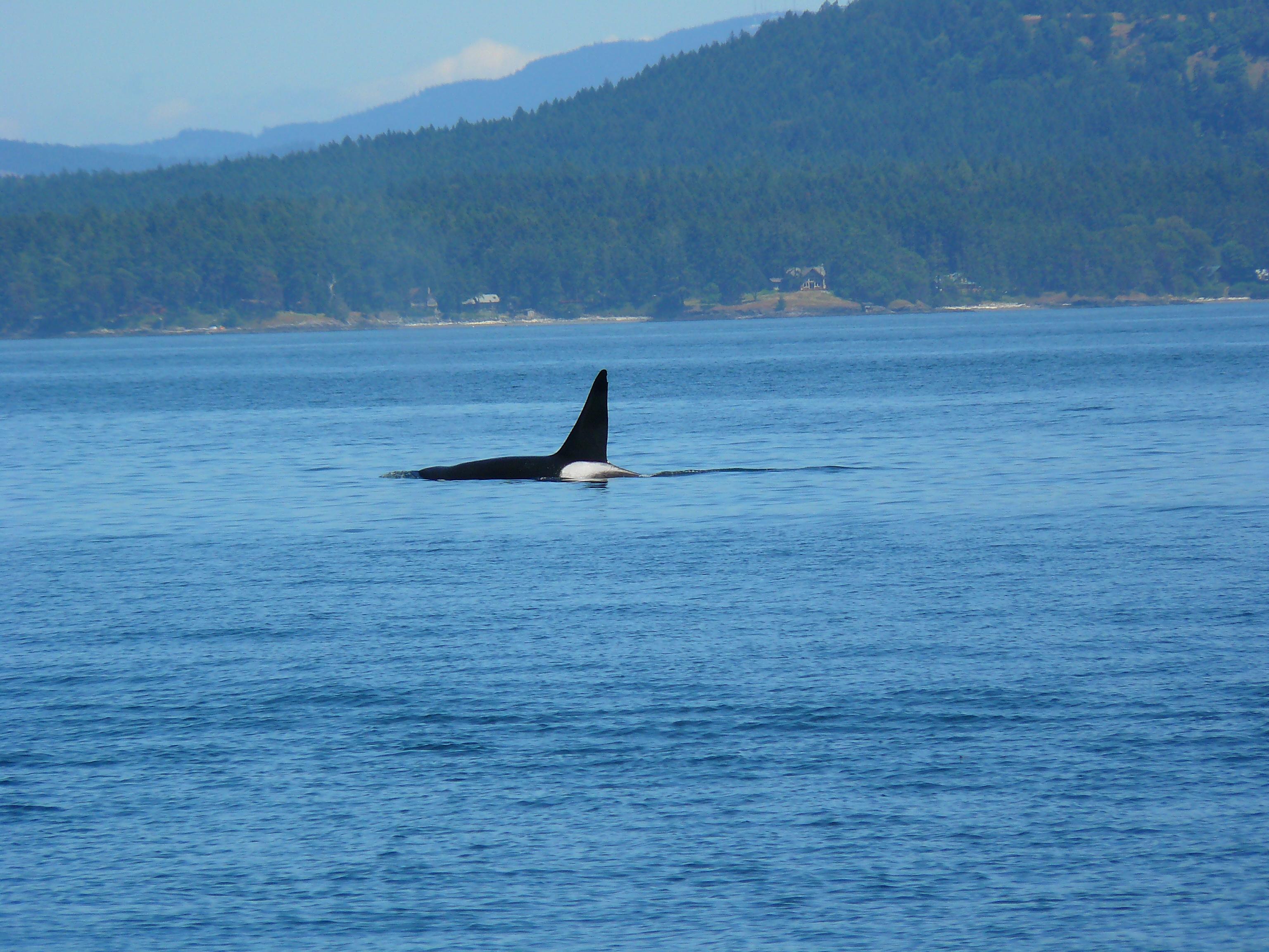 Killer Whale Breeding Http//niulorg/gallery/killer Whales Mating