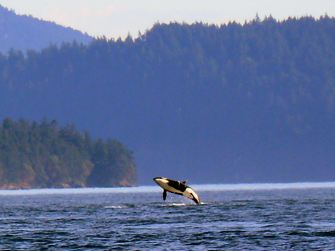 Orca Season Musings | OnBoard Tours Whales