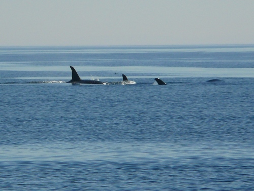 2014-10-5 SRKW Orcas Hein Bank 002