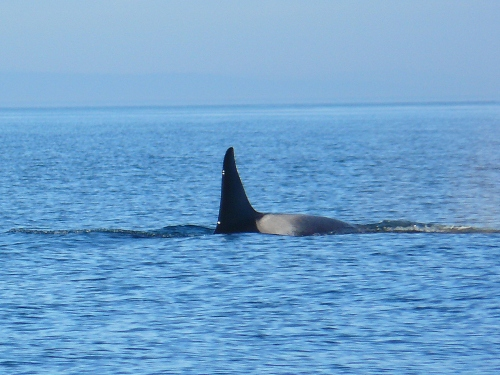 2014-10-5 SRKW Orcas Hein Bank 010