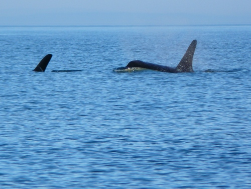 2014-10-5 SRKW Orcas Hein Bank 011