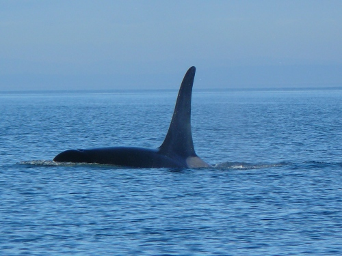 2014-10-5 SRKW Orcas Hein Bank 012