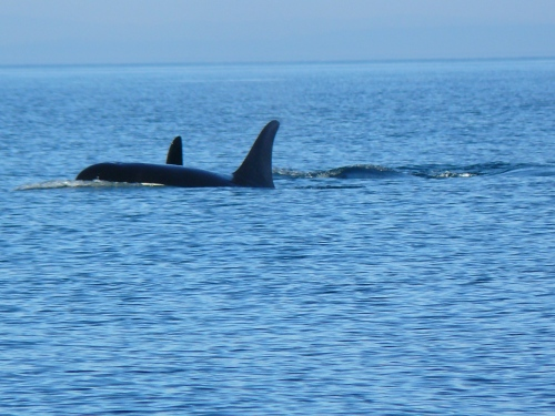 2014-10-5 SRKW Orcas Hein Bank 014