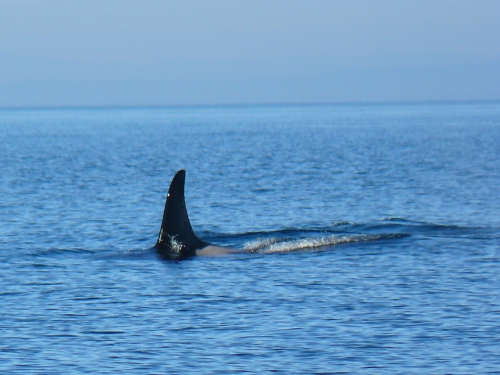 2014-10-5 SRKW Orcas Hein Bank 015