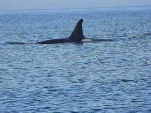 2014-10-5 SRKW Orcas Hein Bank 017