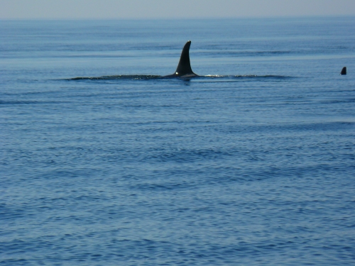 2014-10-5 SRKW Orcas Hein Bank 021