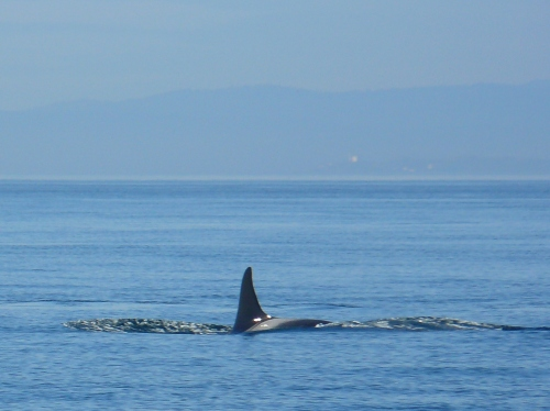 2014-10-5 SRKW Orcas Hein Bank 032