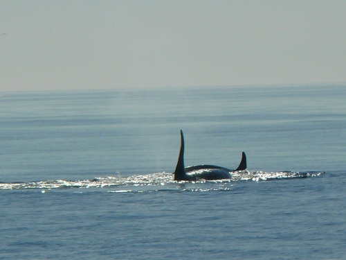 2014-10-5 SRKW Orcas Hein Bank 034