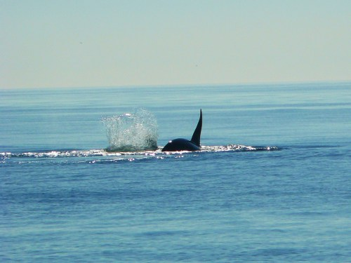 2014-10-5 SRKW Orcas Hein Bank 035