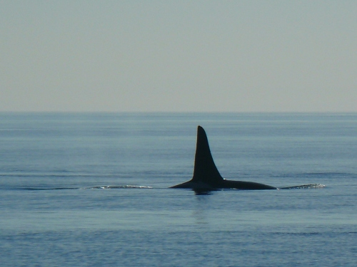 2014-10-5 SRKW Orcas Hein Bank 036
