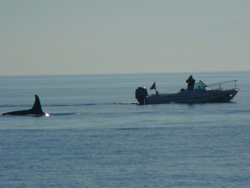 2014-10-5 SRKW Orcas Hein Bank 037