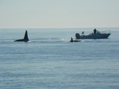 2014-10-5 SRKW Orcas Hein Bank 039