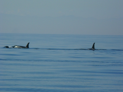 2014-10-5 SRKW Orcas Hein Bank 040