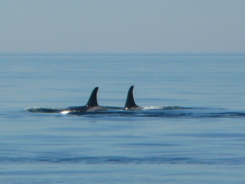 2014-10-5 SRKW Orcas Hein Bank 041