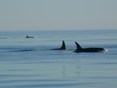 2014-10-5 SRKW Orcas Hein Bank 044