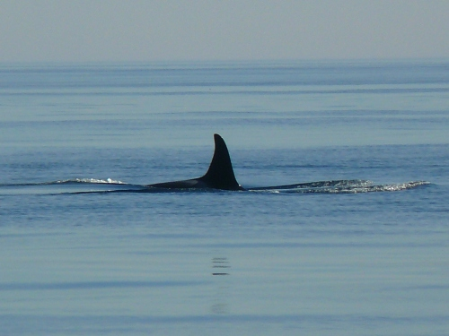 2014-10-5 SRKW Orcas Hein Bank 046