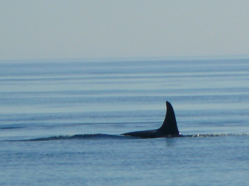2014-10-5 SRKW Orcas Hein Bank 047