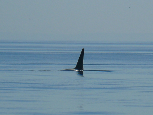 2014-10-5 SRKW Orcas Hein Bank 053