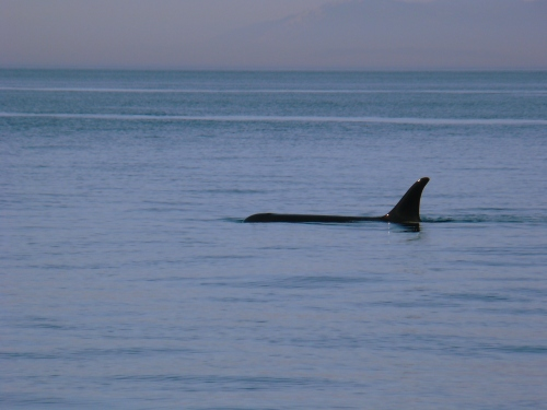 2014-10-5 SRKW Orcas Hein Bank 056