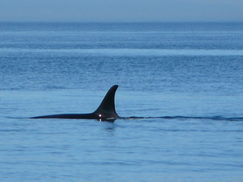 2014-10-5 SRKW Orcas Hein Bank 059