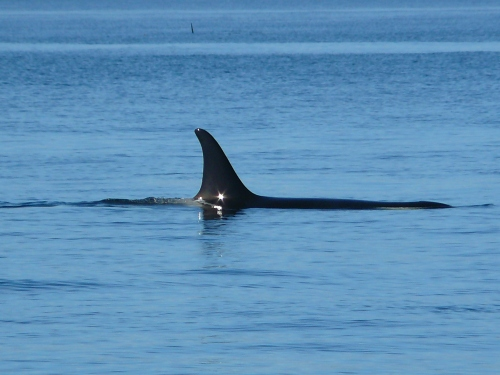 2014-10-5 SRKW Orcas Hein Bank 061