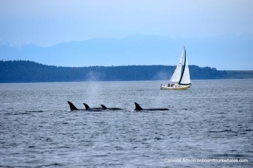 2016-5-21 Bigg's-Transient Killer Whales