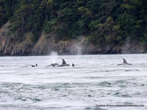 2016-5-21 Biggs-Transient Killer Whales