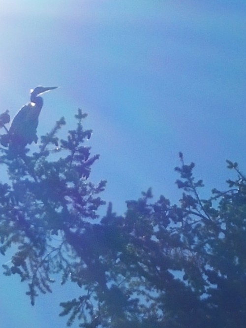 2016-7-14-great-blue-heron-in-tree-anacortes-ship-harbor